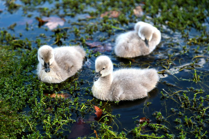 Cygnet. Of black swan at claisebrook cove, western australia stock photos