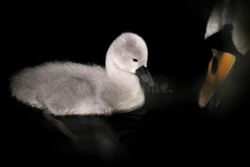 Cygnet mit dem Schnabel des Mutter-Höckerschwans stockfoto