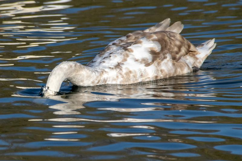 Cygnet mute swan diving below the water searching for food stock images