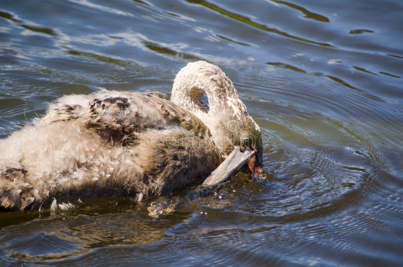Cygnet schwarzer Schwan des Babys, der beim Schwimmen, das Bild in der Bewegungsbewegung, bei Sydney Park sich verkratzt lizenzfreie stockbilder