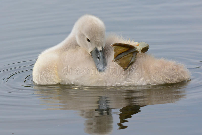 A cygnet sleeping on the water royalty free stock photography