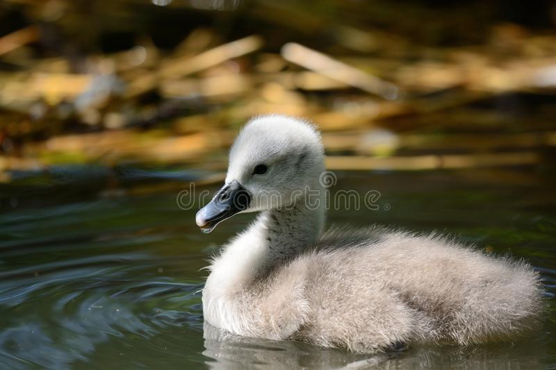 Cygnet swimming in the water stock images