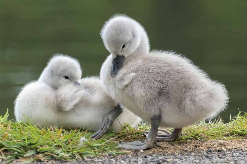 Cygnet zwei stockfotos