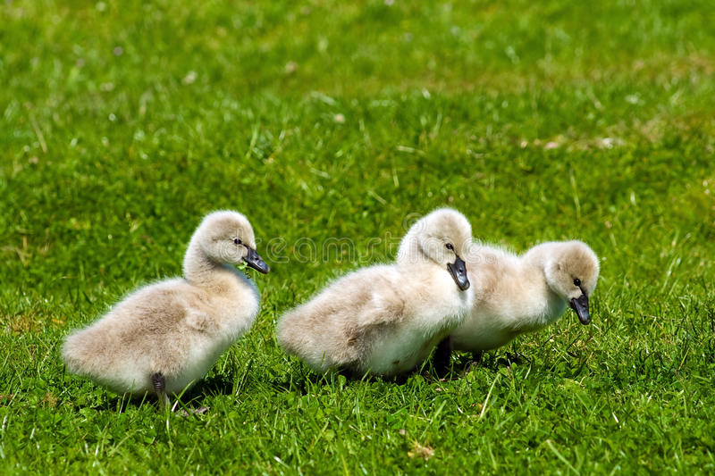 Download Cygnets stock image. Image of birds, happiness, bird - 14762351