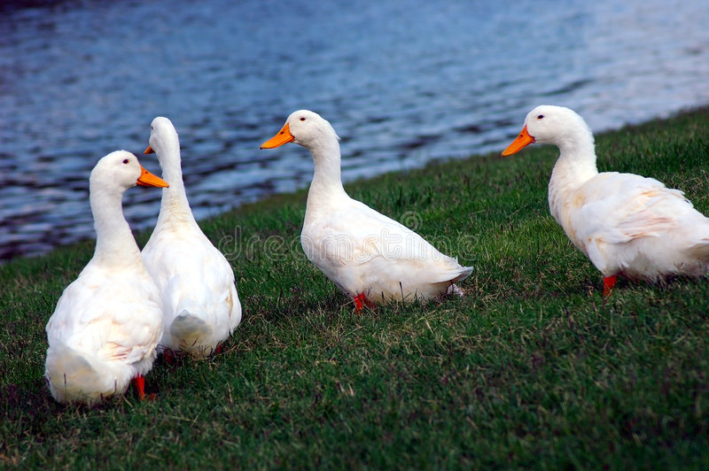 Download Cygnets - Baby Swans stock image. Image of swans, river - 225991