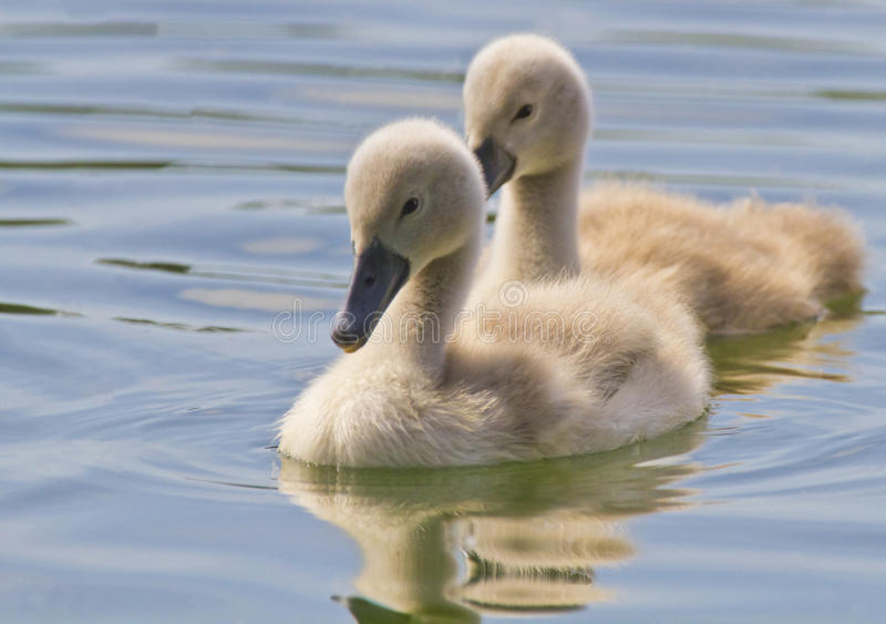 Cygnets. Couple of young swans swimming on the water. Cygnets have no feathers, only fluff stock photos