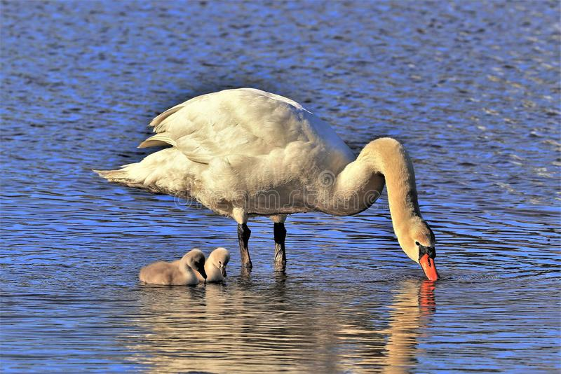 Cygnets at moms feet. Large White Mute Swan with her two baby Cygnets at her feet. The swans were enjoying a sunny summer day on the pond. The swans were feeding stock photos