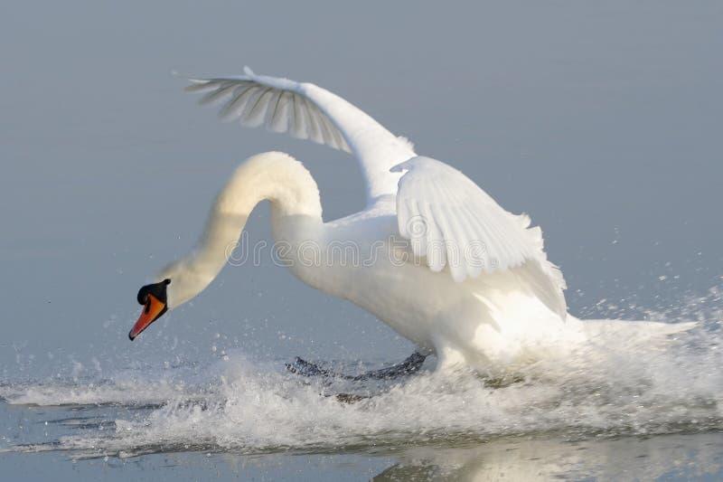 cygnus приземляясь безгласный лебедь olor стоковые изображения rf