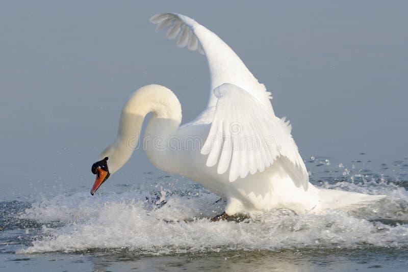 cygnus приземляясь безгласный лебедь olor стоковые фотографии rf