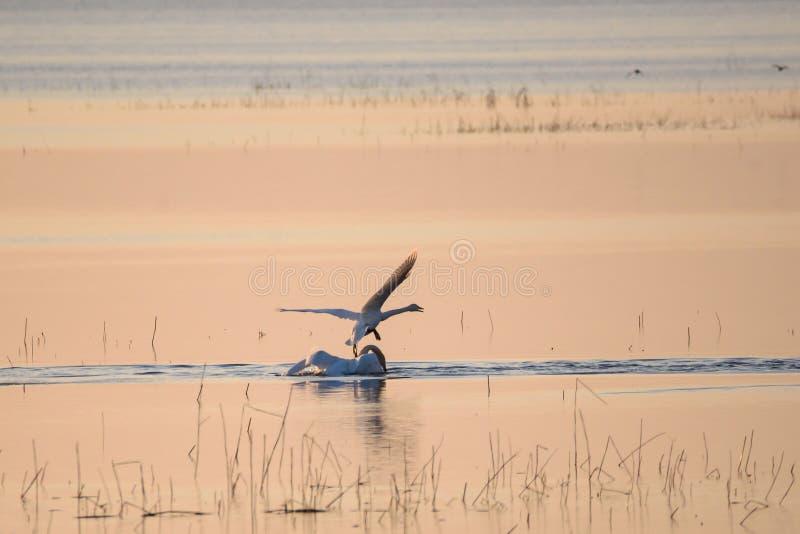 Cygnus del Cygnus di due cigni selvatici in lago, durante il tramonto immagini stock libere da diritti