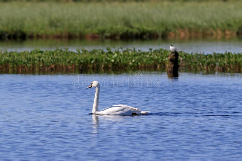 Cygnus olor. Mute Swan swims on the lake on the Yamal Peninsula royalty free stock photos