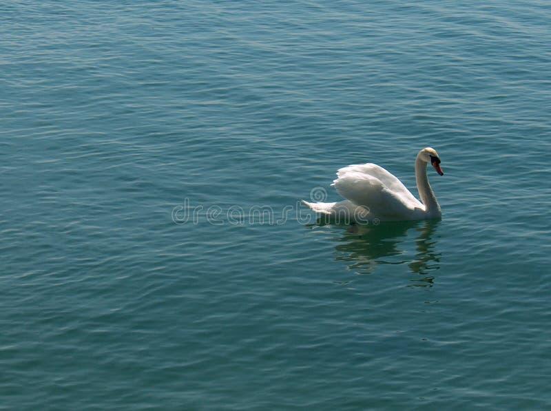 Download Cygnus - swan stock photo. Image of water, suisse, switzerland - 50882