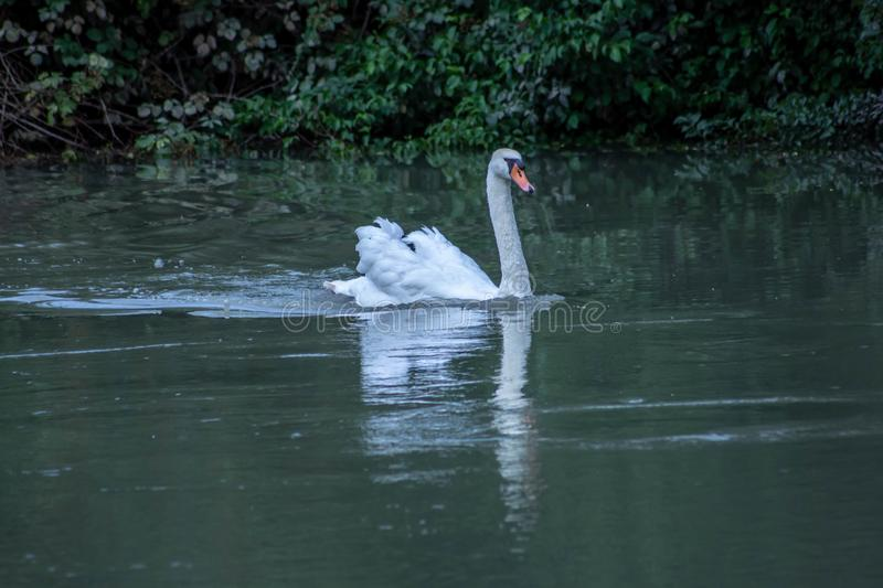 Cygnus is the taxonomic genus with which the largest aquatic birds of the Anatidae family are identified, commonly called `Cigni`. In Italian singular: swan royalty free stock image