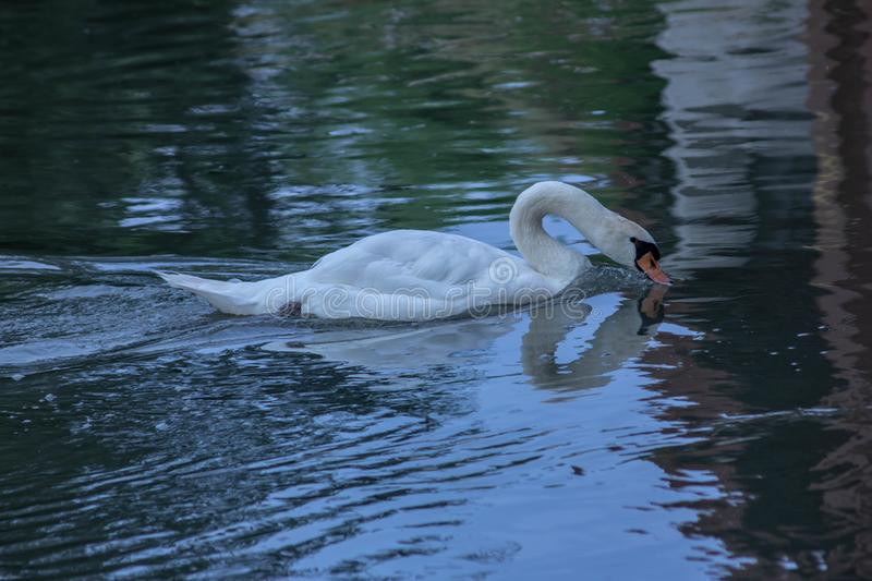 Cygnus is the taxonomic genus with which the largest aquatic birds of the Anatidae family are identified, commonly called `Cigni`. In Italian singular: swan stock image