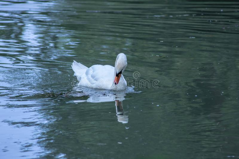 Cygnus is the taxonomic genus with which the largest aquatic birds of the Anatidae family are identified, commonly called `Cigni`. In Italian singular: swan stock photo