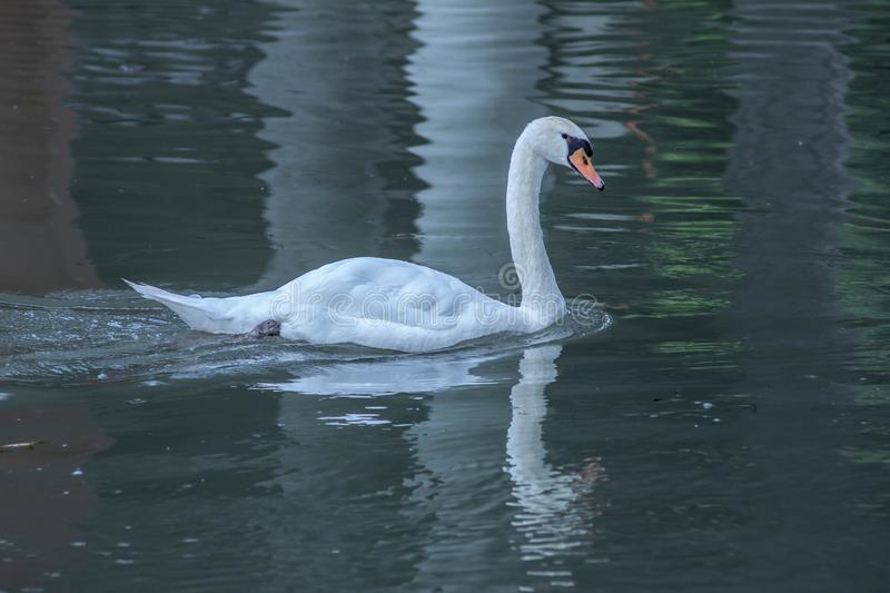 Cygnus is the taxonomic genus with which the largest aquatic birds of the Anatidae family are identified, commonly called `Cigni`. In Italian singular: swan royalty free stock photo