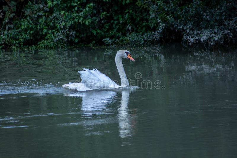 Cygnus is the taxonomic genus with which the largest aquatic birds of the Anatidae family are identified, commonly called `Cigni`. In Italian singular: swan stock images