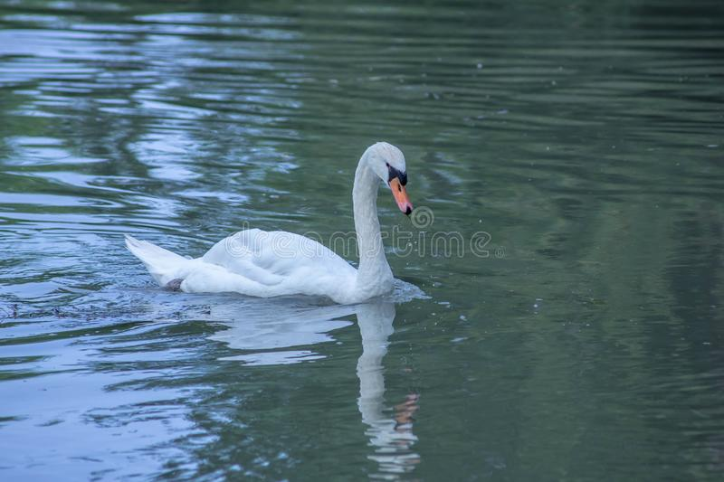 Cygnus is the taxonomic genus with which the largest aquatic birds of the Anatidae family are identified, commonly called `Cigni`. In Italian singular: swan royalty free stock photography
