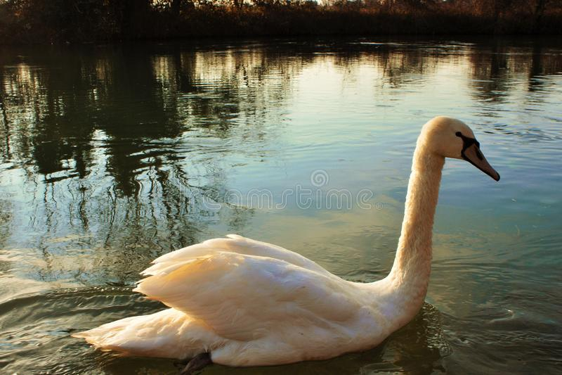 Cygnus is the taxonomic genus with which the largest waterfowl of the Anatidae family are identified, thes. E birds are easily recognizable - as well as for royalty free stock image