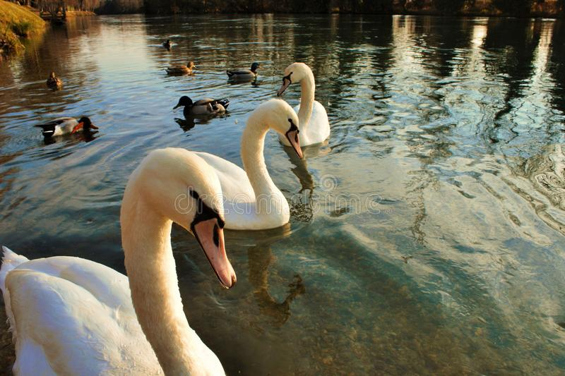 Cygnus is the taxonomic genus with which the largest waterfowl of the Anatidae family are identified, these birdssize -. Cygnus is the taxonomic genus with which royalty free stock photography