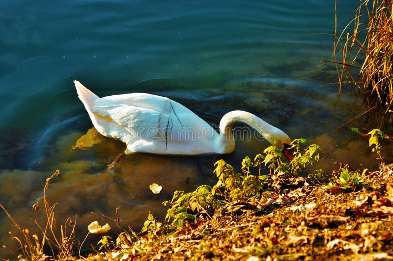 Cygnus is the taxonomic genus with which the largest waterfowl of the Anatidae family are identified, thes. E birds are easily recognizable - as well as for stock photo