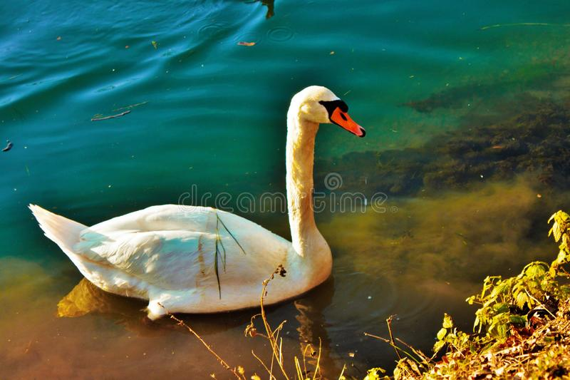 Cygnus is the taxonomic genus with which the largest waterfowl of the Anatidae family are identified, thes. E birds are easily recognizable - as well as for royalty free stock images
