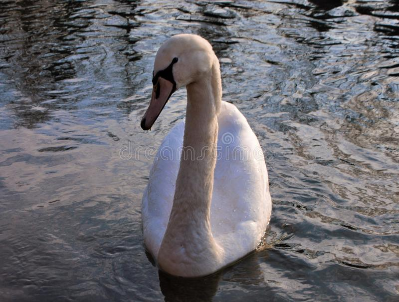Cygnus is the taxonomic genus with which the largest waterfowl of the Anatidae family are identified, thes. E birds are easily recognizable - as well as for stock image