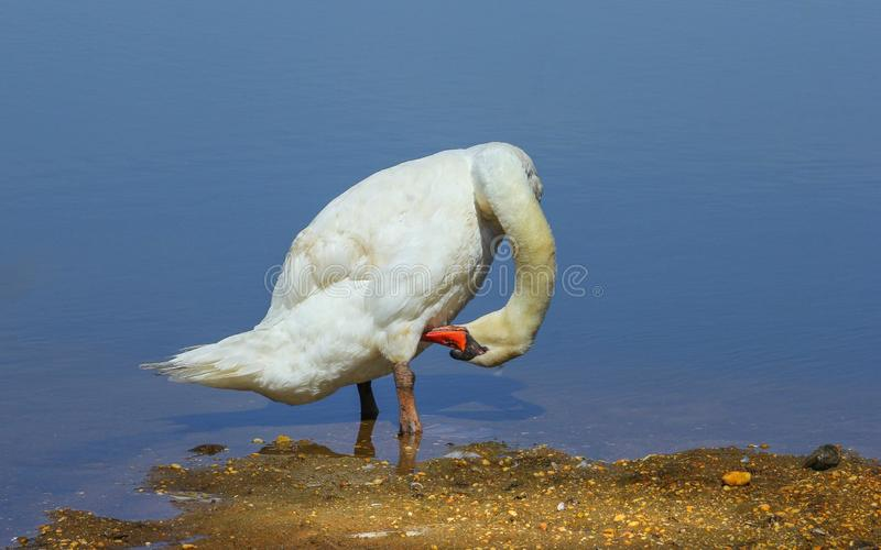 Cygnus White Mute Swan. This white mute swan was standing on a small island at low tide in thee local stream.  The swan is large and is a common spring visitor royalty free stock photography