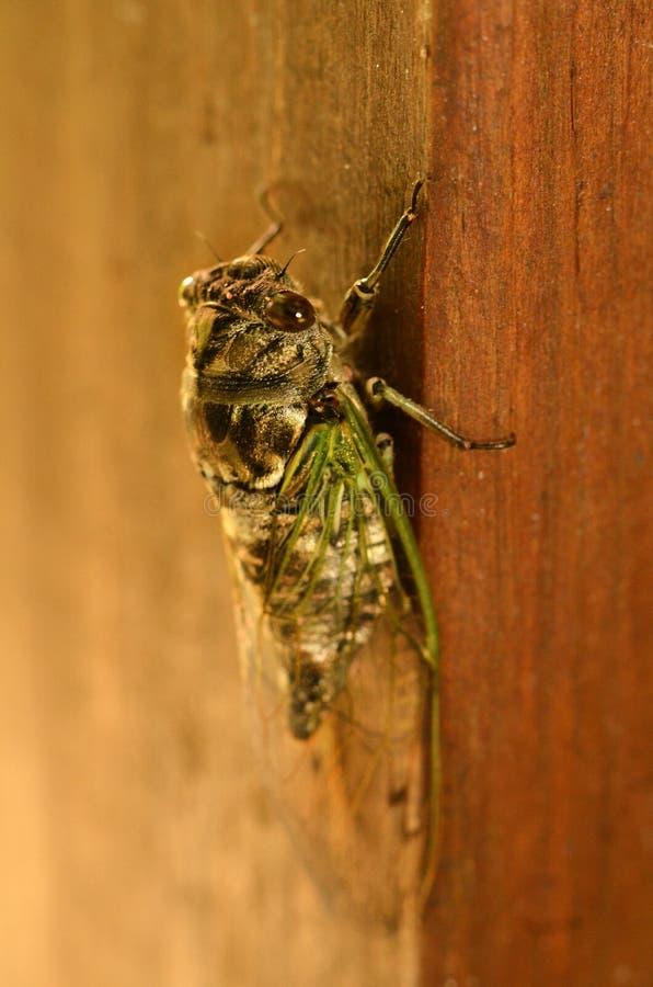 Cykada insektów produkt spożywczy bardzo głośni dźwięki zdjęcia royalty free
