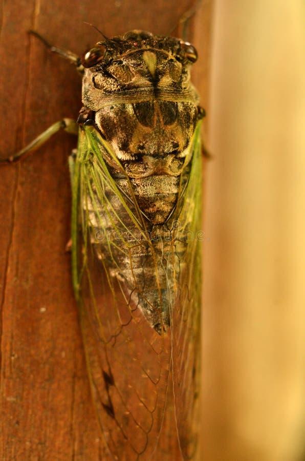 Cykada jaskrawa - zieleni skrzydła unfurl po linieć obrazy stock