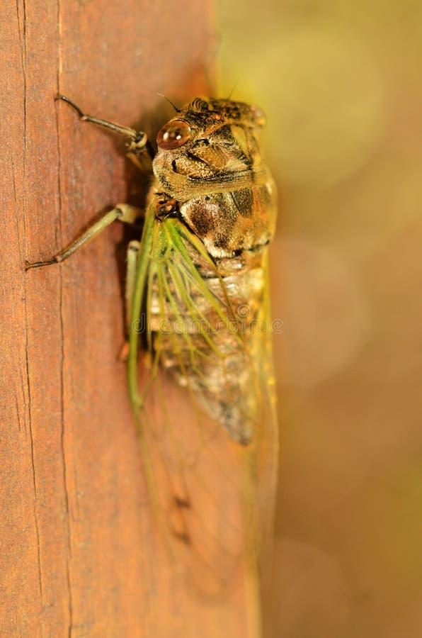 Cykada pozwala skrzydła unfurl i wypełnia z fluidem zdjęcia stock