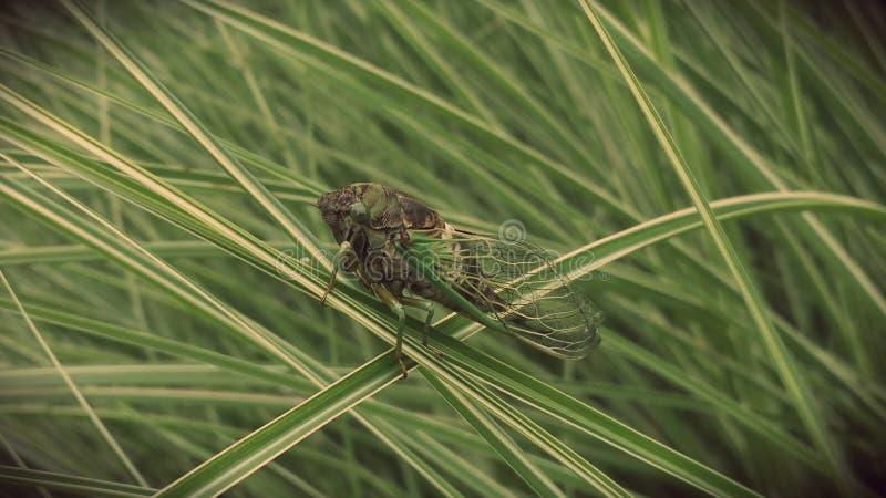 Cykada w długiej trawie obrazy stock