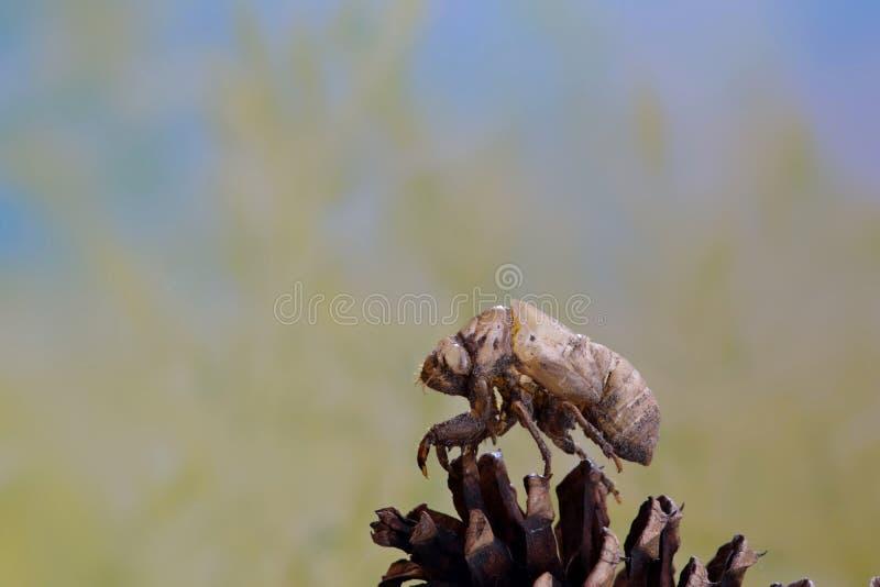 Cykady plewa na sosnowym rożku zdjęcia stock
