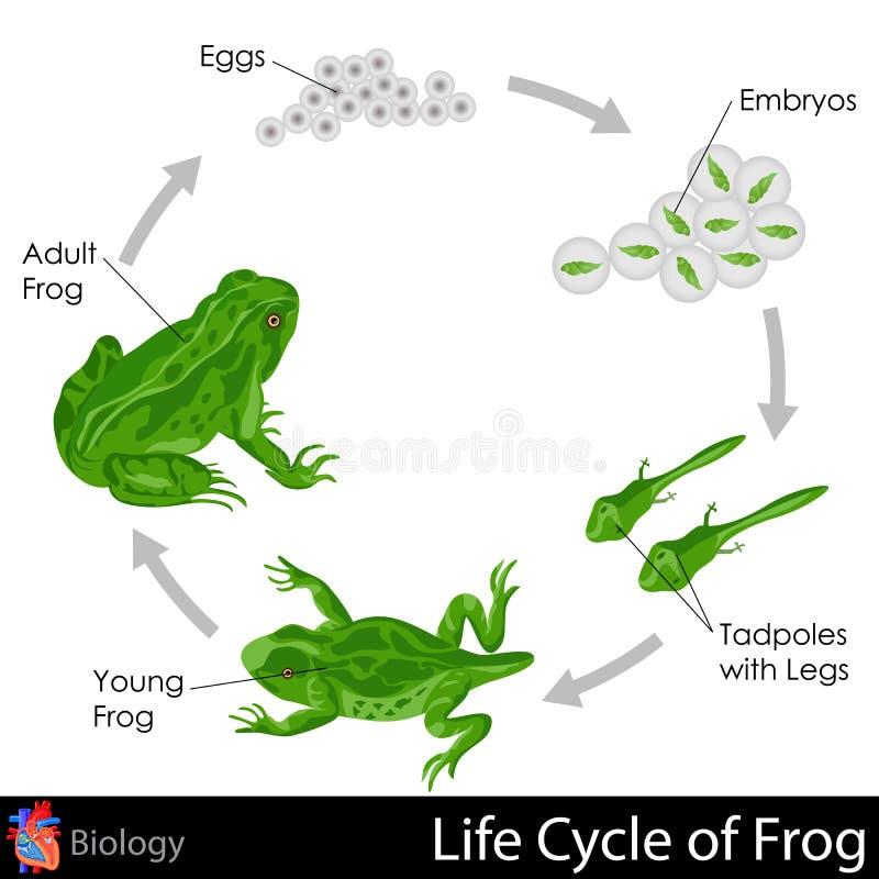 Cykl życia żaba ilustracji