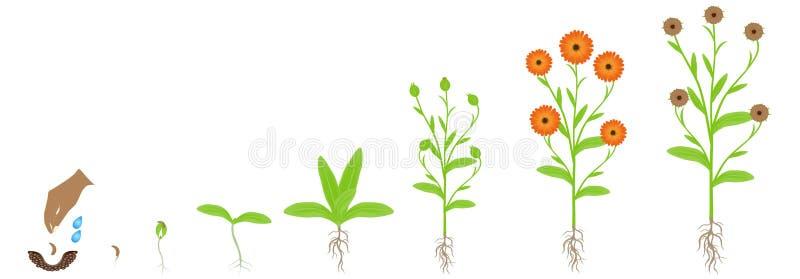 Cykl calendula rośliny przyrost, odizolowywający na białym tle royalty ilustracja
