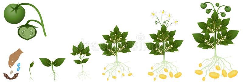 Cykl kartoflany dorośnięcie od ziaren, na bielu ilustracji