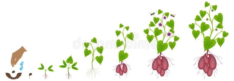 Cykl przyrost batat roślina na białym tle royalty ilustracja