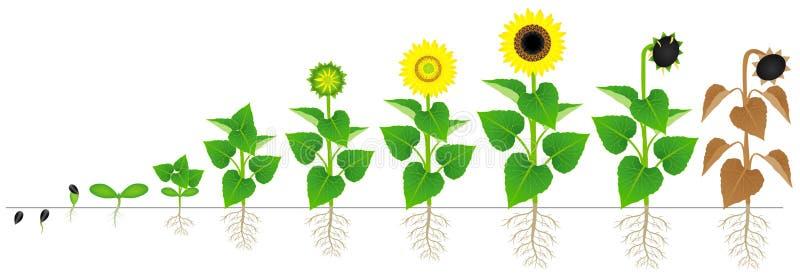 Cykl przyrost odizolowywający na białym tle słonecznikowa roślina ilustracja wektor