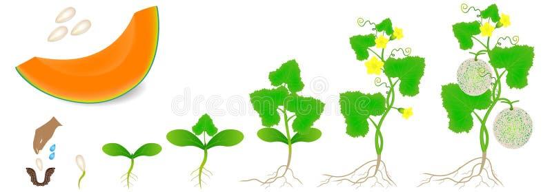 Cykl przyrost roślina odizolowywająca na białym tle kantalupa melon ilustracja wektor