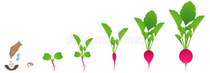 Cykl przyrost rzodkwi roślina na białym tle ilustracja wektor
