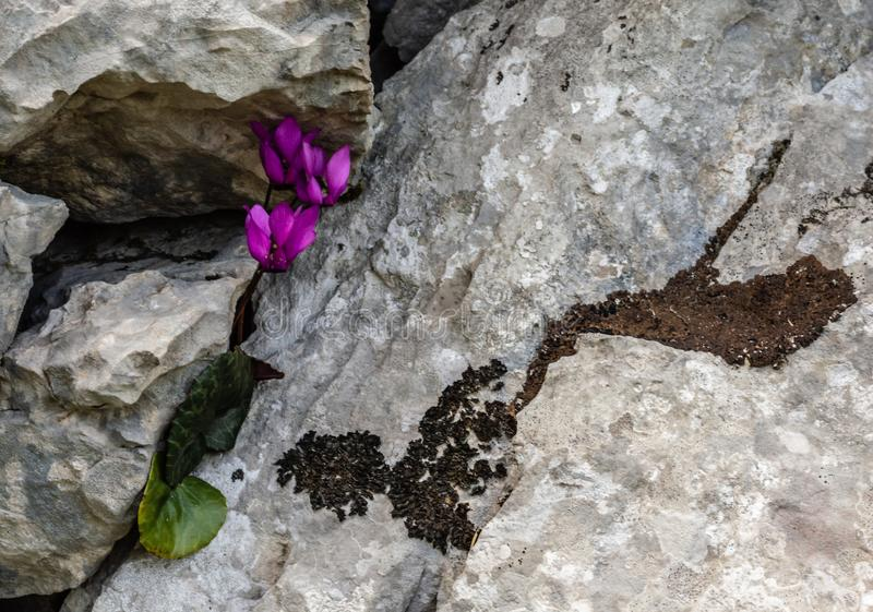 Cyklamenblomma som växer i en bergsten arkivbild