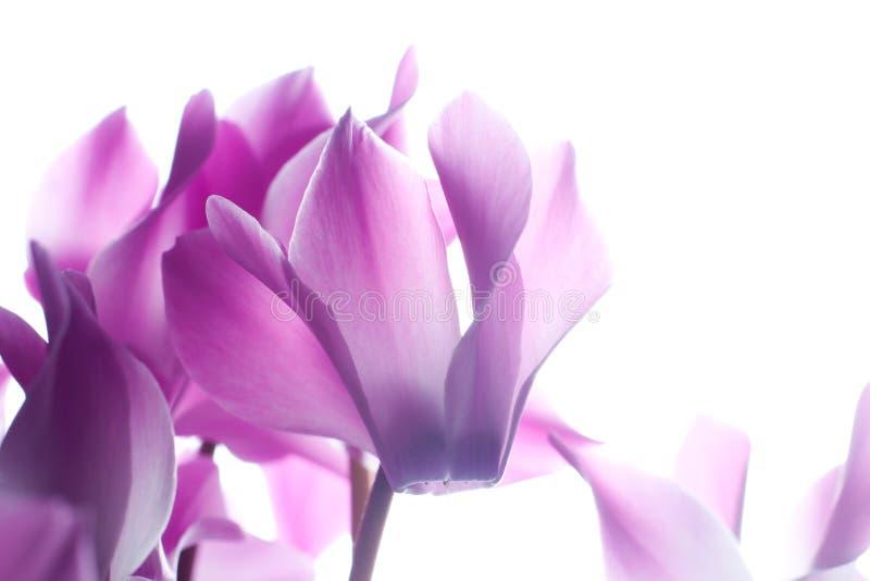 cyklameny kwitną menchie obrazy stock