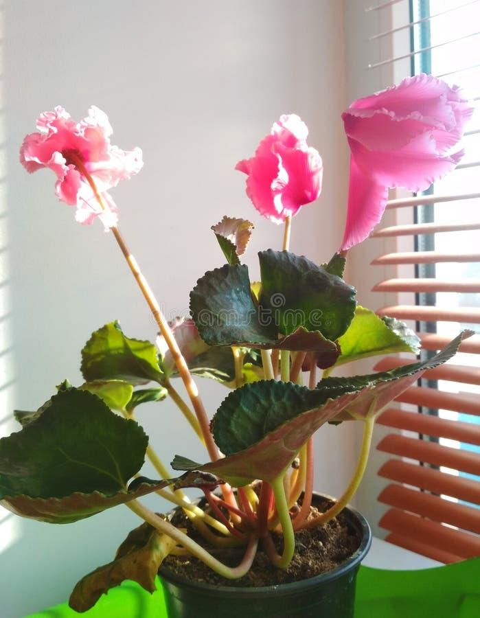 Cyklameny w domu, roślina zdjęcie royalty free