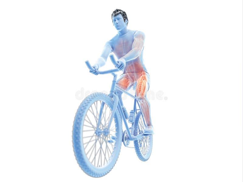 cyklistów mięśnie royalty ilustracja