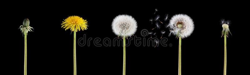 cyklu dandelion życie obraz stock