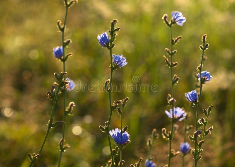 cykoriowi kwiaty obrazy royalty free
