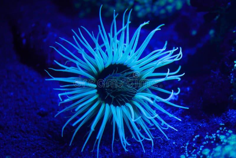 Cylinder anemone (Cerianthus membranaceus). Cylinder anemone (Cerianthus membranaceus), also known as the coloured tube anemone royalty free stock photo