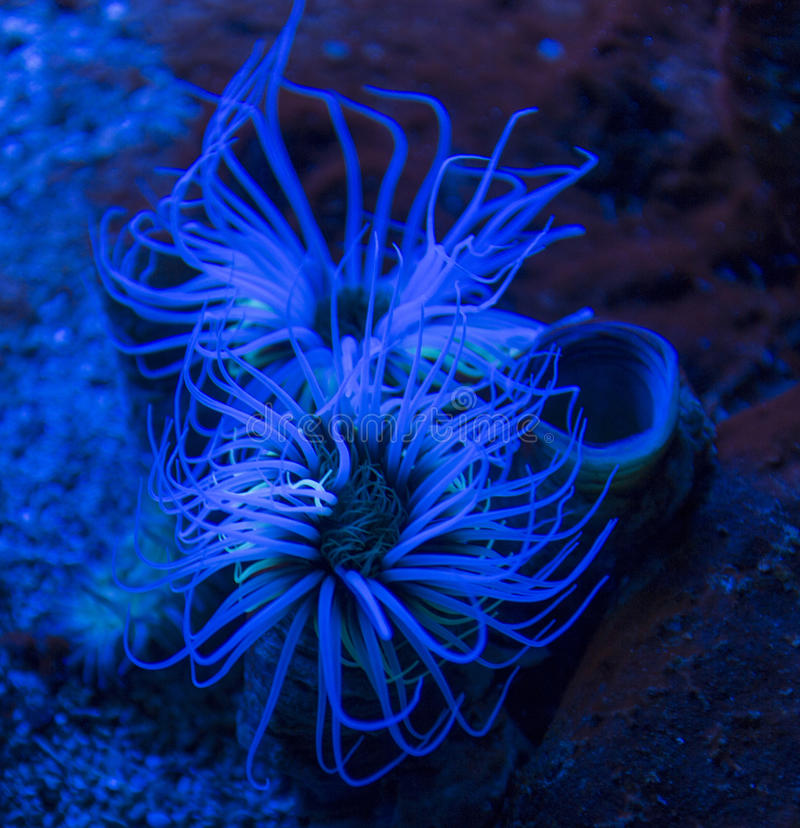 Cylinder anemone Cerianthus membranaceus. Also known as the coloured tube anemone royalty free stock photo
