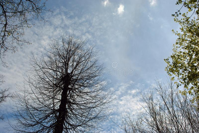 Cylinder shaped cut tree silhouette, branches without leaves, surrounded by trees with new green buds, on blue cloudy spring sky stock photos