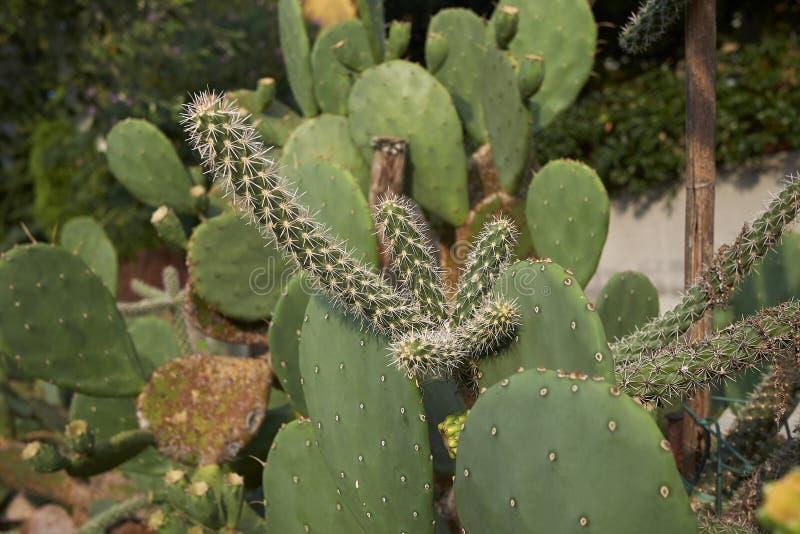 Cylindropuntia imbricata spiny gałąź obrazy stock